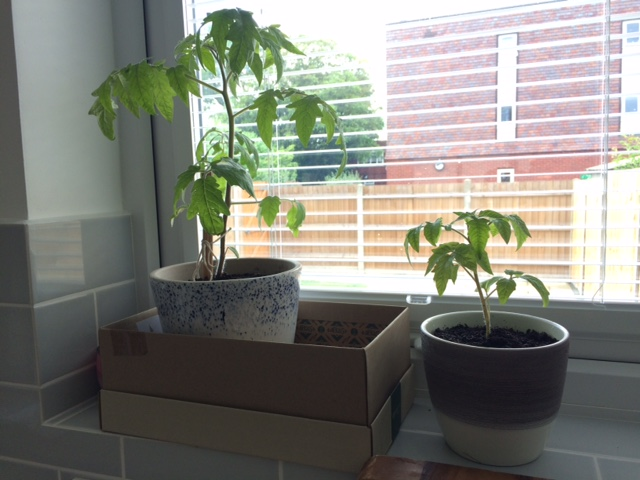 Growing tomato plants - indoors