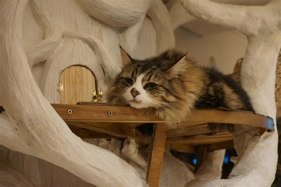 Lady Dinah S Cat Emporium Rescue