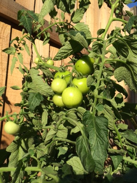 Growing tomato plants in spring