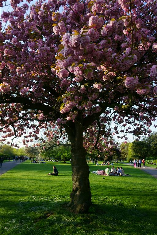 Spring in London with Cherry blossom trees in Regents Park